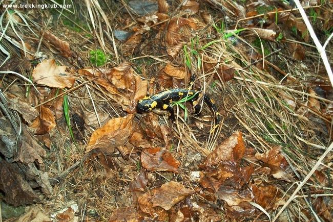 Salamander - Tosorog Cave