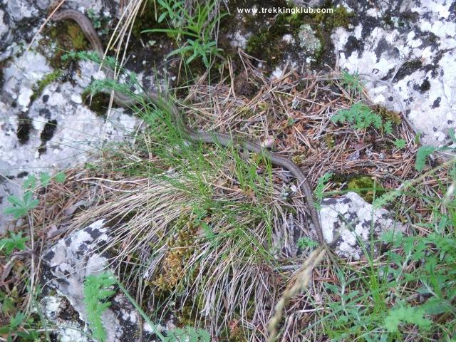 Coronella austriaca - Bicajel Gorges