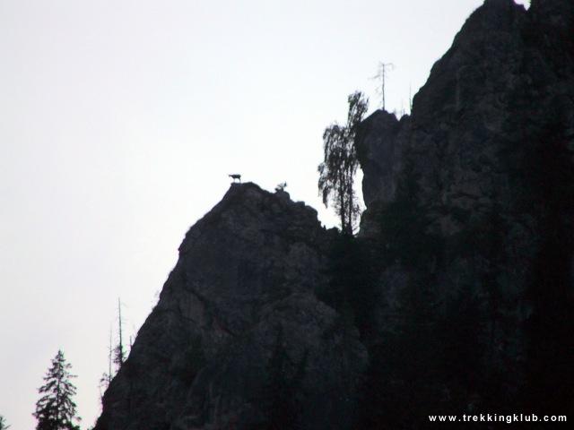 Wild chamois on the Stone of the Shrine - Bicaz Gorges