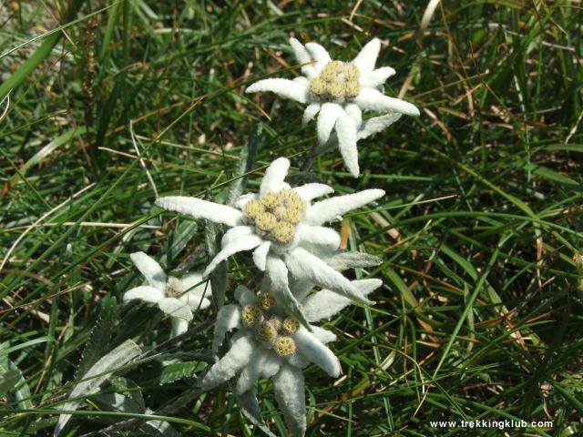 Floare de colt - Bucsoiu