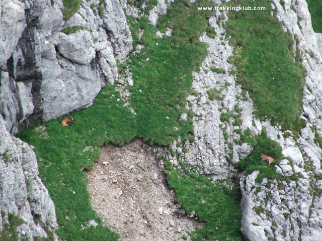 Capre negre - Bucsoiu