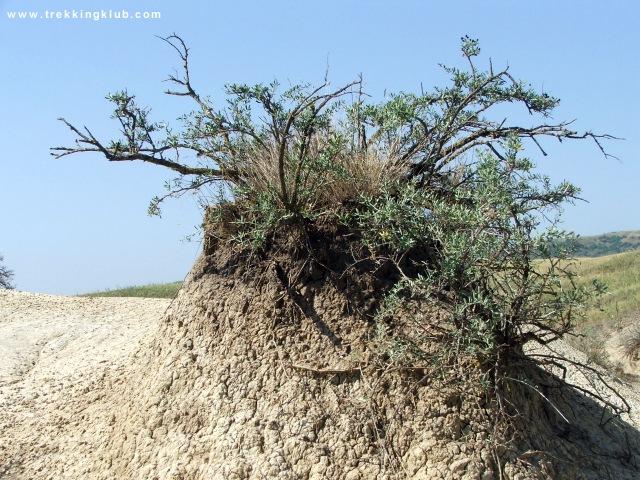 Nitraria schöberi - Mud volcanoes