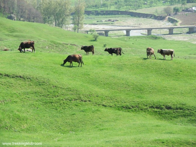 Grazing cows on the hillside - Pietriceaua
