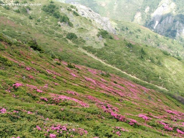 Rhododendron szőnyeg - Gropsoarele-Zaganu