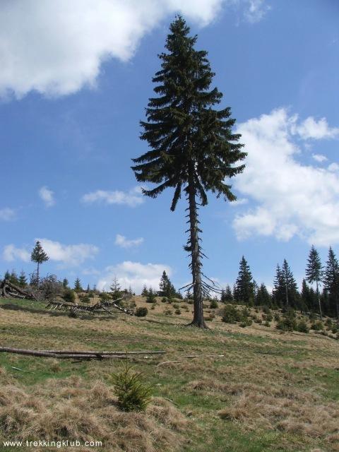 Magányos fenyőfa - Fekete-rez