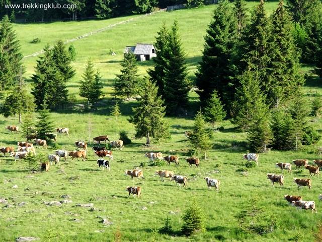 Turma de vaci - Piatra Tabulata