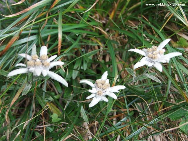 Floare de colt - Piatra Craiului